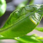 柑橘類に寄生するミカンハモグリガ