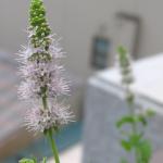 三つ葉の種*ハーブの花と芽吹き