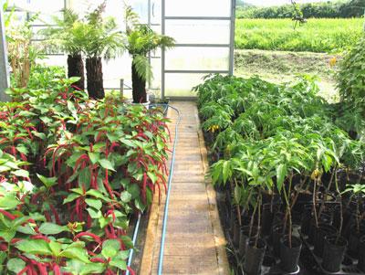 熱帯植物の苗