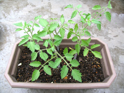 イエロープチトマトの苗