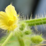 キワノが開花*雄花と雌花