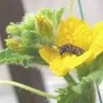 メロンの花とミツバチ