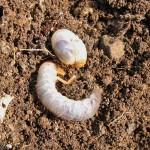 コガネムシ幼虫