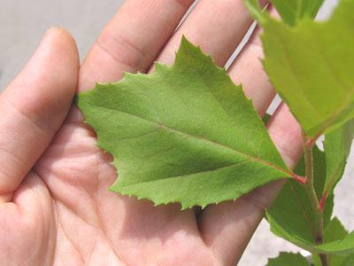 特徴的な葉の形