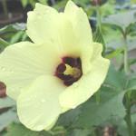 残暑に咲くオクラの花*プリッキーヌにしじみ蝶