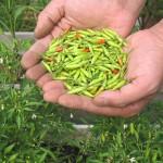 プリッキーヌの収穫と礼肥