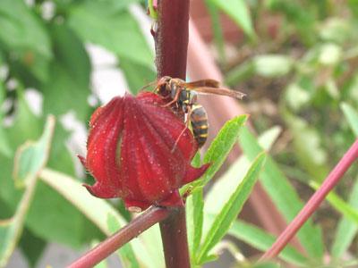 ローゼルにアシナガバチ