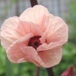 ローゼルの花*アブラムシとアシナガバチの共生関係