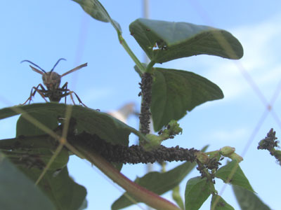 アブラムシとアシナガバチ