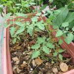 イエロープチトマト
