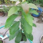 アボカド発芽から5ヶ月