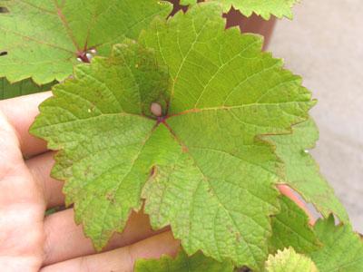 ベリーAの葉