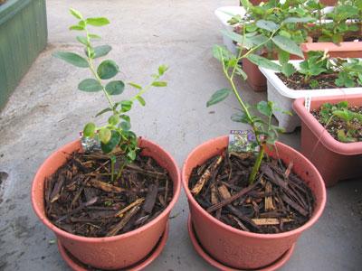 ブルーベリー苗の植付