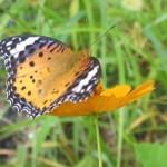 キバナコスモスに蝶々*あまおうの移植