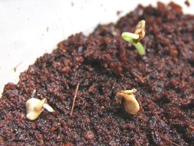 ハバネロの発芽
