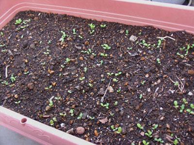 レタス・サラダミックス、種まきから1週間