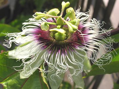 パッションフルーツの開花