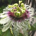 時計のようなパッションフルーツの花