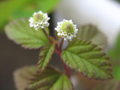 スイートハーブメキシカンの花