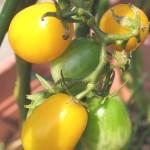 イエロープチトマトの収穫はじまる