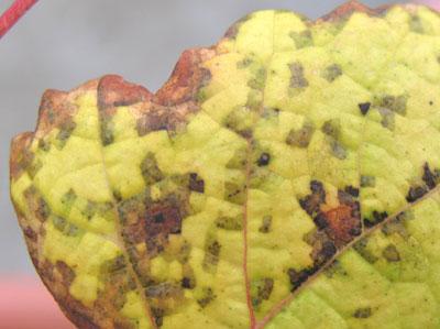 ブドウ葉のモザイク