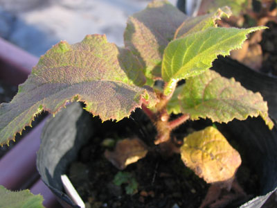 キウイ香緑の苗