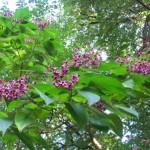 青く色づく臭木の実*白ブドウのナイアガラ半年後