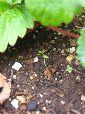 ミツバの芽