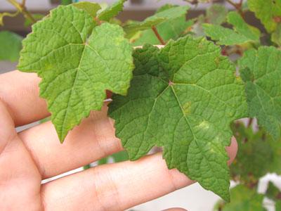 ナイアガラの葉
