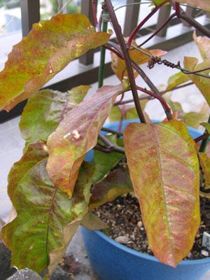 根元に近い葉から色が変わってます