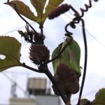紅葉するパッションフルーツ