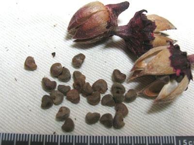 ローゼルの種