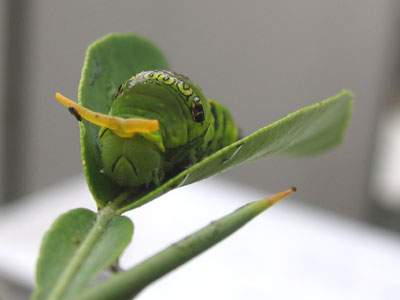 角を出すアゲハ幼虫