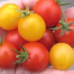 まるくなったイエロープチトマト*こぼれ種ミツバ