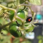 イエロートマトとテントウムシ