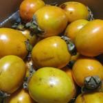 せいしょこさんの渋柿