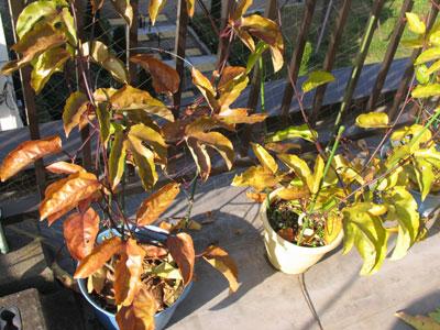 葉が変色して、落ちる