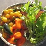 収穫でサラダ*レタスに付いた害虫