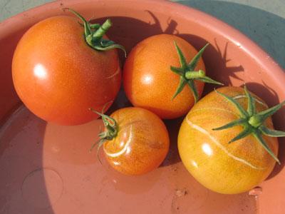 桃太郎の収穫