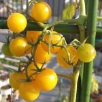 2008年 実生イエロープチトマト栽培終了