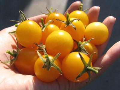 イエロープチトマト収穫