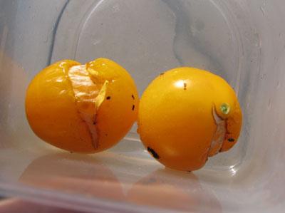 落果トマト
