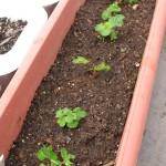 種から栽培したイチゴの記録・2008年~年明けまで