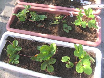 ランナー苗の植え付け