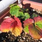 イチゴの葉裏で越冬するアブラムシ