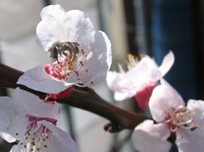 アンズの花とミツバチ