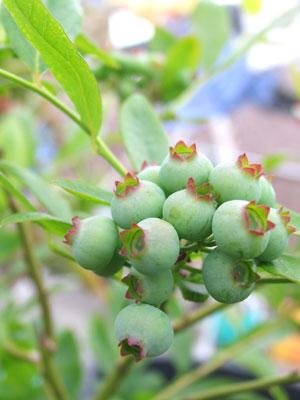 ブルーベリーの青い実