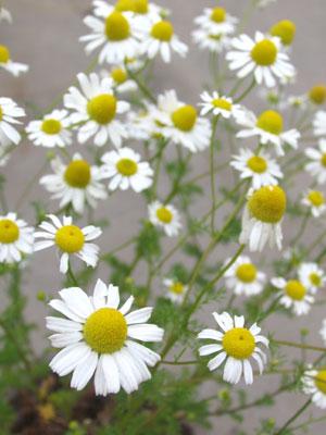 カモミールの開花