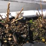 越冬後の苗