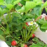 成長するイチゴの苗